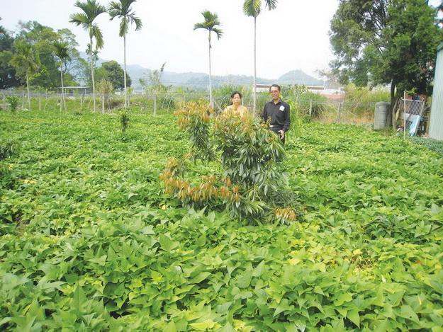 羅秀錦與另一位無毒栽培者曾豐男在蕃薯園中(何其慧攝)