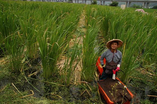 擁有碩士學歷的劉佐龍返鄉種植茭白筍,得到許多人的肯定。(廖家熹攝)