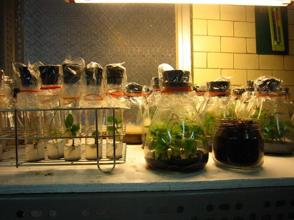 牛樟樹苗從試管栽培至三角瓶,到移植盆栽。(林子婷攝)