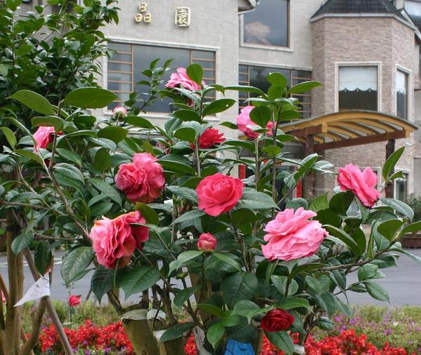 晶園休閒渡假園區的山茶花色澤鮮豔,開出的花朵有如牡丹花,非常討喜。(楊樹煌攝)