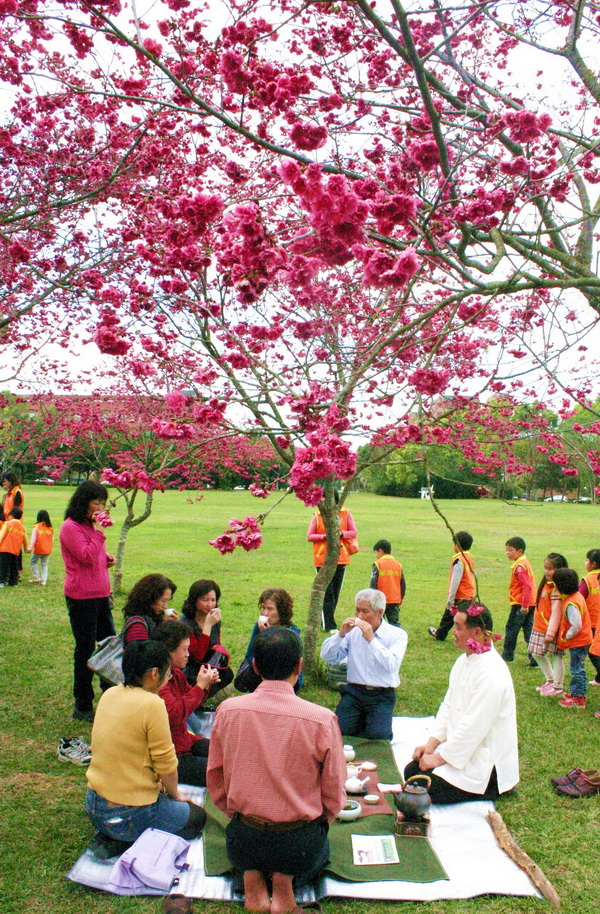 暨南大學內上千株的臺灣山櫻與日本八重櫻已花開繽紛,在櫻花樹下品茗,氣氛浪漫。(楊樹煌攝)