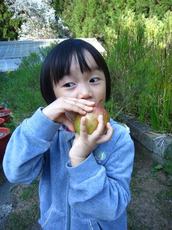 小朋友迫不及待吃起蜜蘋果,羨煞旁人。(林子婷攝)