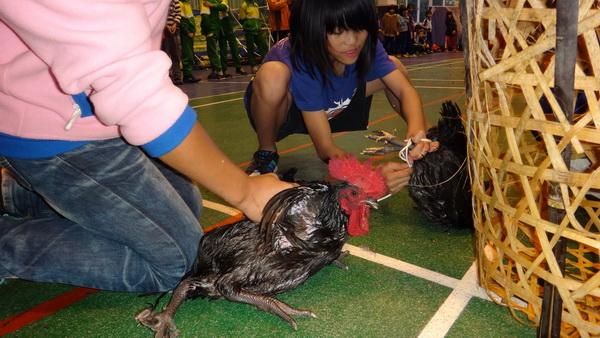 小朋友發揮高超的抓雞技巧,將放山雞手到擒來。(諾爾攝)