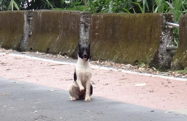 鯉魚潭、虎頭山風景區,常見疑似被獸鋏夾斷腿的流浪狗。(柏原祥攝)