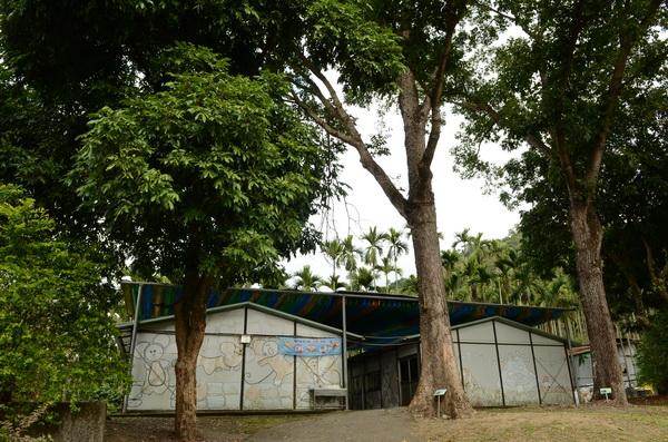 長福國小裡保留許多大樟樹,這都是客家先民開啟山林開發樟腦的歷史證明。(柏原祥攝)