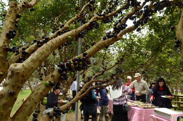 樹葡萄結實纍纍令人驚豔。(柏原祥攝)