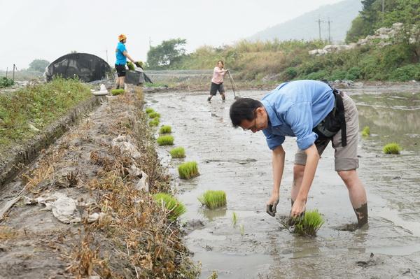暨大中文系博士生鄭大衛下田插秧,腰痠腿麻,體會農民的辛勞。