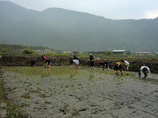 暨大同學們在內埔社區種下一分田,預計七、八月份收割。