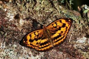 翅膀呈橙色瑪瑙紋路之雄紅三線蝶雄蝶。