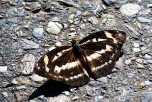 翅膀背面斑紋與帶蛺蝶相似的雄紅三線蝶雌蝶。