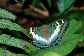 臺灣綠蛺蝶的成蝶。