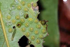 臺灣綠蛺蝶的卵群及一齡幼蟲。