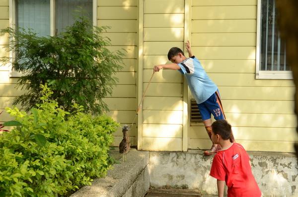 一對小兄弟自製工具,餵食落巢的黑冠麻鷺。(柏原祥攝)