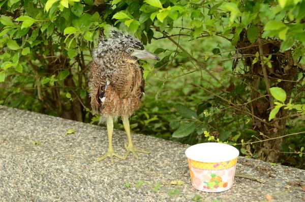 野鳥,落巢,南投縣野鳥學會,周柏佑,育雛