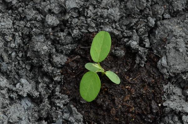 台灣大豆的種苗。(柏原祥攝)