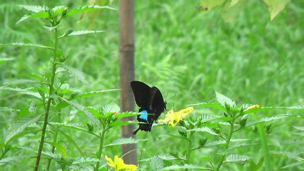 俞國珠的生態村裡只見蝴蝶翩翩起舞。(俞國珠提供)