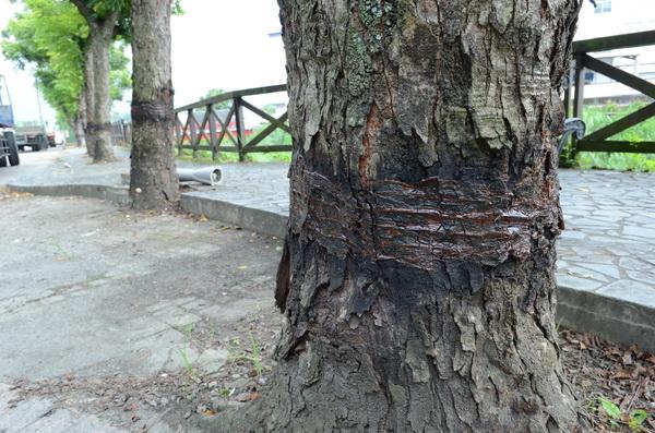 南安路外環道路樹穿上深色「呼拉圈」,看似環狀剝皮,實際上是防治蟲害的牛油。(柏原祥攝)