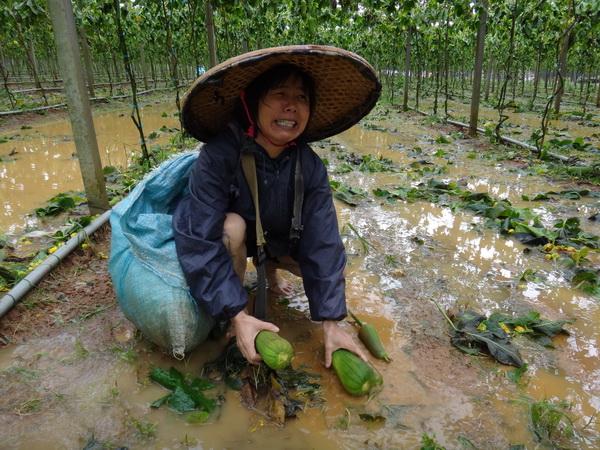 大坪頂一名種植絲瓜的大嬸,望著絲瓜棚滿園落果,不禁悲從中來。(柏原祥攝)