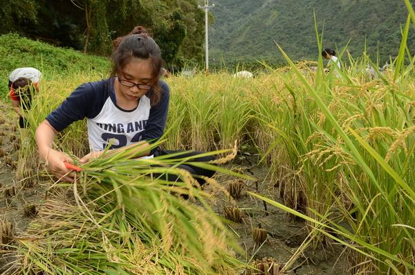 內埔社區一分田收割,暨大同學們忙著以手工收割稻子。(柏原祥攝)