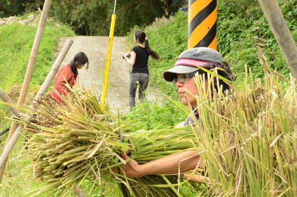 內埔社區一分田收割,暨大同學們忙著捆紮稻子,將以傳統農法曬稻。(柏原祥攝)