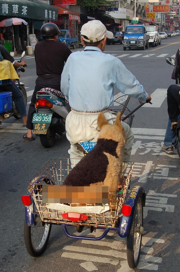 張金昌騎著三輪車,載著黃色大布偶狗的身影,背後有一段感人的故事。(柏原祥攝)