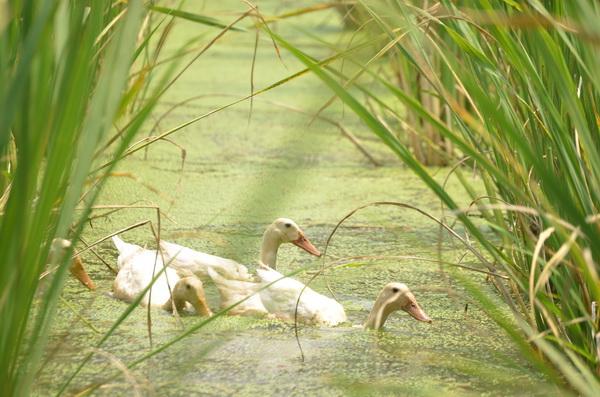 以鴨子、魚類等天敵控制福壽螺,減少農藥用量,也能營造台灣白魚復育的棲地。(柏原祥攝)
