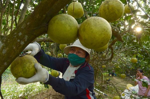 南投家扶中心埔里服務處志工採收白柚,義賣所得用於扶幼。(柏原祥攝)