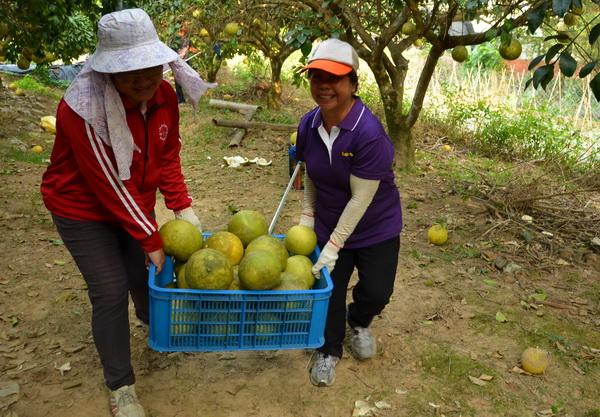 家扶志工忙著將沈重的大白柚搬上車。(柏原祥攝)