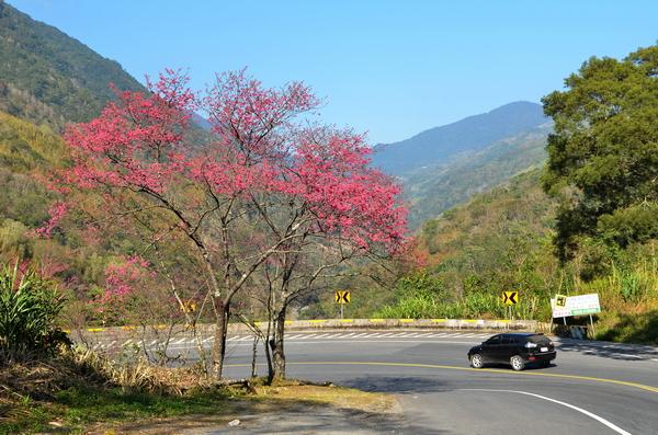 櫻花,埔霧公路,王海清,賞櫻,櫻之路