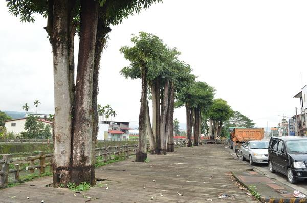 黑板樹生長迅速,衍生根系破壞木棧板的狀況。(柏原祥攝)