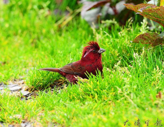 酒紅朱雀是合歡山夏季常見的留鳥(張傳濱攝)