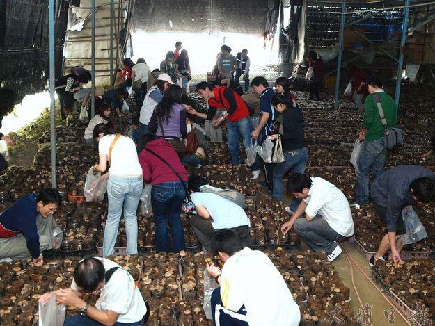 魚池香菇品質遠近馳名,產量更是名列前茅。(魚池鄉公所提供)