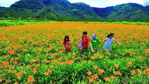 魚池鄉頭社活盆地栽種金針花為全國第二,近年來成為賞花新秘境。(唐茹蘋攝)