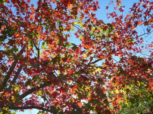 奧萬大楓葉逐漸轉紅,但因氣候乾旱,提前落葉。(圖/南投林管處提供)