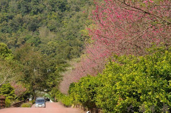地藏院櫻花步道美不勝收,環境幽靜。(柏原祥攝)
