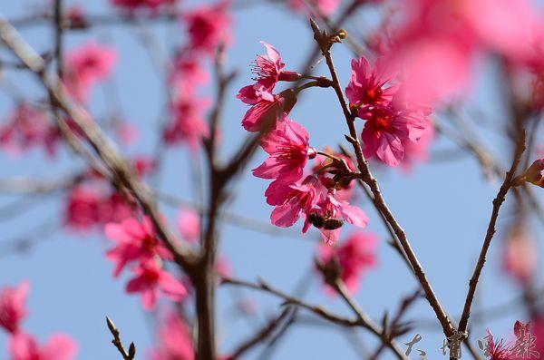 埔里地藏院櫻花