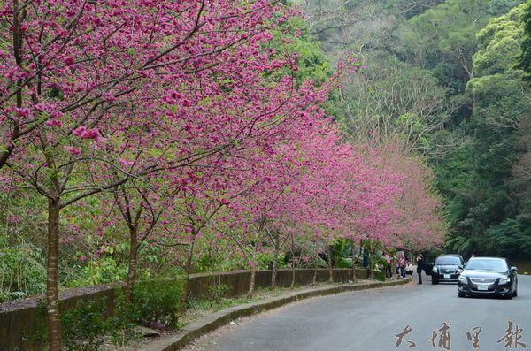 惠蓀林場也有櫻花盛開的美景,春節賞櫻正是時候。(柏原祥攝)