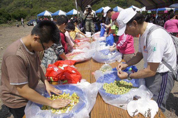 仁愛鄉舉辦採梅活動,吸引許多遊客前來脆梅DIY。