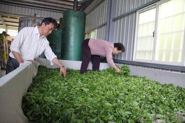 魚池鄉紅茶第一批春茶採收進行室內萎凋茶 菁肥厚而美,品質不錯。