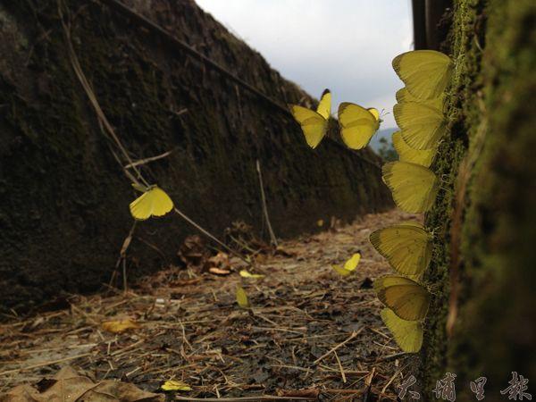 由於近期台灣黃蝶的食草大量開花造成大發生。(劉明浩攝)
