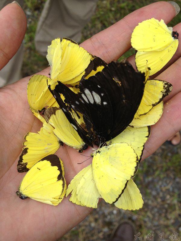 埔里地區近期臺灣黃蝶大發生,但卻發生被車子大量輾斃的憾事。(劉明浩攝)