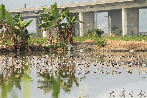 埔里鎮公田溝附近常見大批候鳥。(林瓊瓔攝)