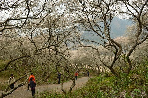 中原部落梅花美景名氣漸響,但因周邊欠缺規劃,引起觀光客的抱怨。(柏原祥攝)