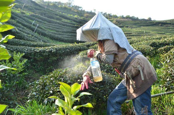陳素蘭在茶園噴灑自製的藥草汁,有效防治害蟲啃食茶葉。(柏原祥攝)