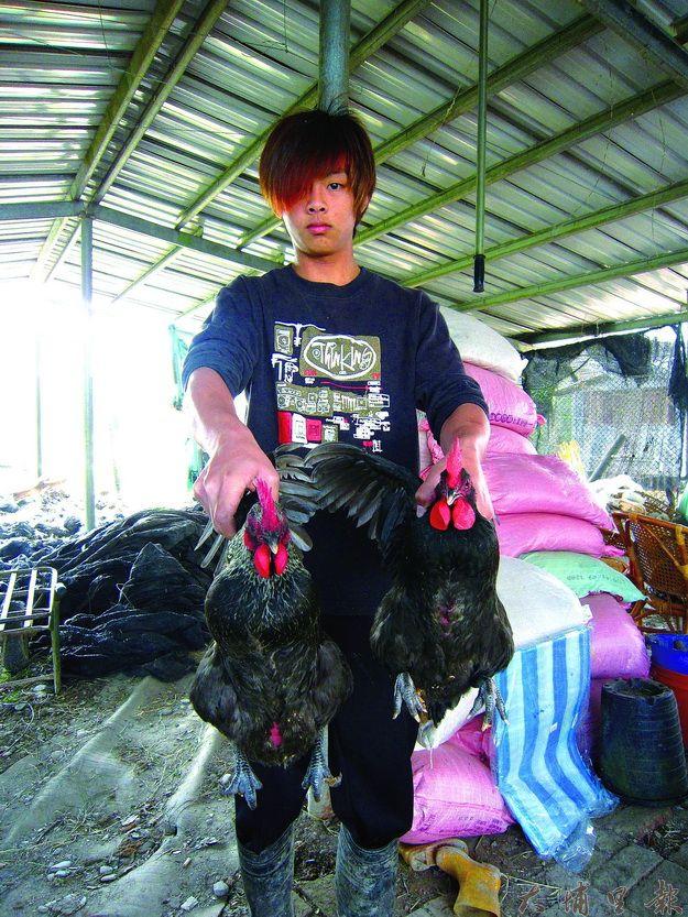 圖2-6黃柏綸養的兩隻母雞健康又天然。(林子婷攝)