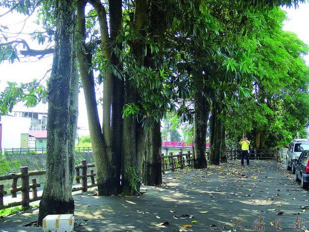 埔里鎮公所計畫移植南安路二百多棵樹木後改種櫻花,但地方的意見仍然分歧。(柏原祥攝)