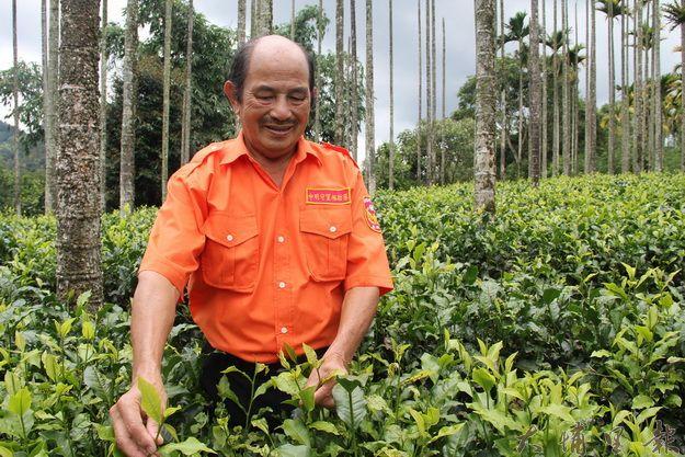 魚池鄉紅茶達人李松連的紅茶園,蟲吃剩的才採摘製成紅茶,風味獨具。(黃彥文攝)
