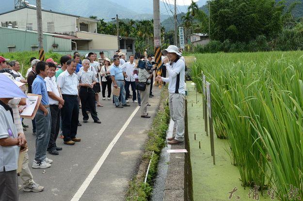 埔里有機茭白筍種植面積漸增,農改場舉辦示範觀摩會。(柏原祥攝)