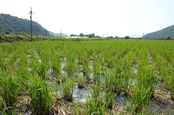 埔里出好水,孕育許多好水農產,如圖中的茭白筍。(柏原祥攝)