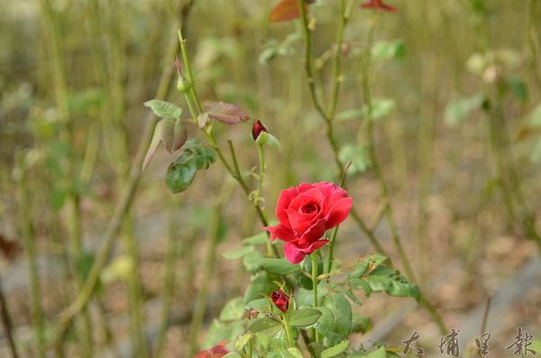 埔里的好水,孕育多樣的農產,圖為內埔農地上的玫瑰。(柏原祥攝)